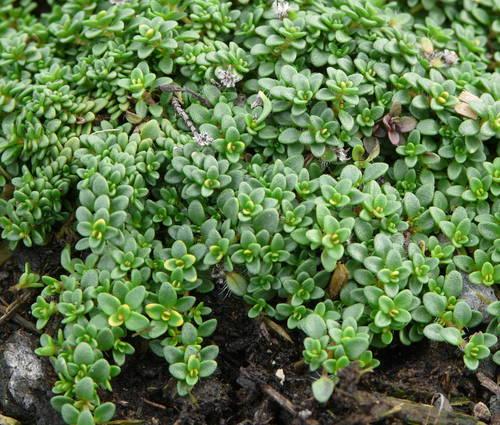 Produktbild Thymus Hybride 'Rasta' - Polster-Thymian