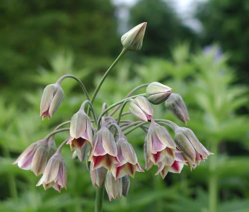 Produktbild Nectaroscordum siculum ssp. bulgaricum - Bulgarischer Lauch