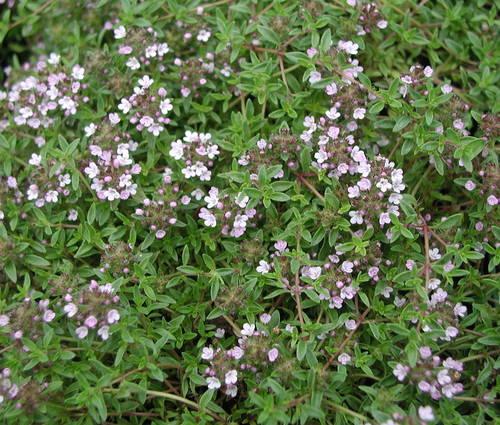 Produktbild Thymus herba-barona var. citriodora - Zitronen-Kümmel-Thymian