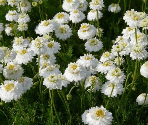 Produktbild Chamaemelum nobile 'Plenum' - Gefüllte Römische Kamille