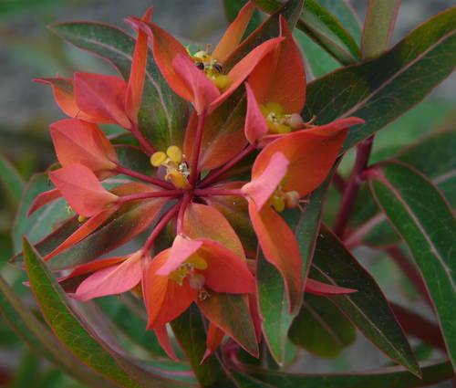 Produktbild Euphorbia griffithii 'Fireglow' - Himalaya-Wolfsmilch