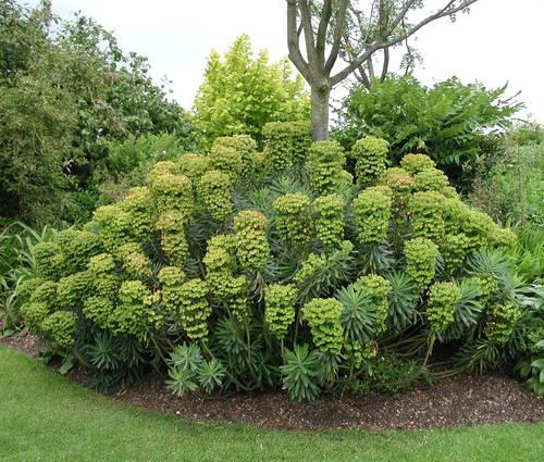 Produktbild Euphorbia characias ssp. wulfenii - Mittelmeer-Wolfsmilch