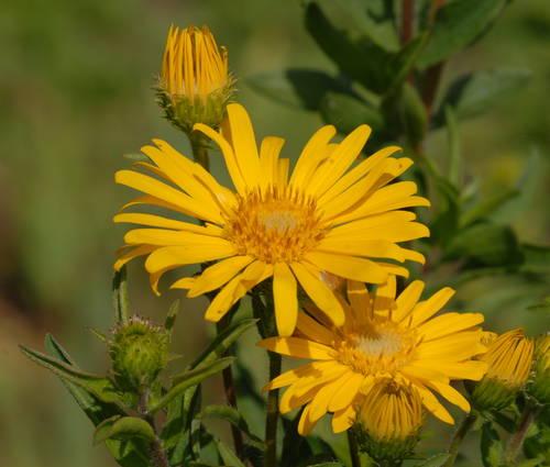 Produktbild Chrysopsis speciosa 'Sunnyshine' - Goldaster