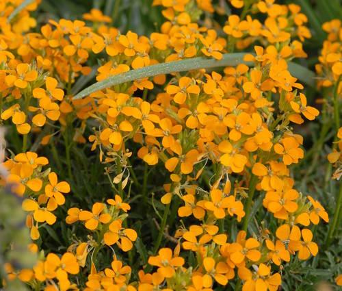 Produktbild Erysimum pulchellum 'Altgold' - Polster-Goldlack, Schöterich
