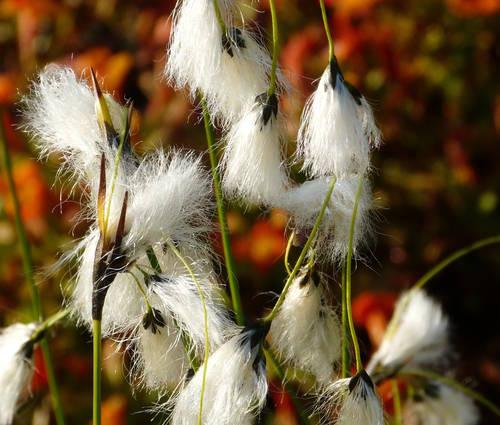 Produktbild Eriophorum angustifolium - Schmalblättriges Wollgras