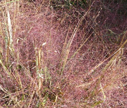 Produktbild Eragrostis spectabilis 'Purpurflirren' - Purpur-Liebesgras