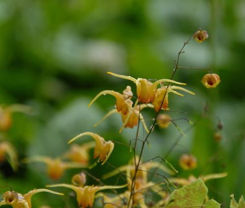 Produktbild Epimedium Hybride 'Amber Queen' - Elfenblume