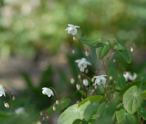 Produktbild Epimedium diphyllum - Elfenblume