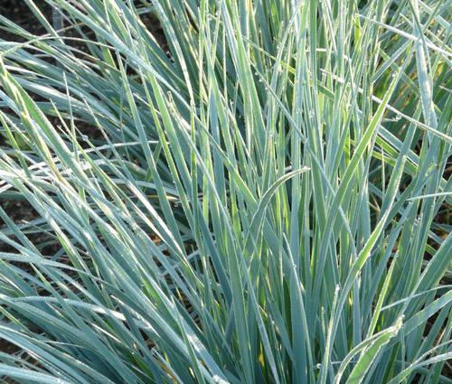 Produktbild Elymus magellanicus - Magellan-Blaugras