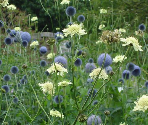 Produktbild Echinops bannaticus 'Taplow Blue' - Kugeldistel