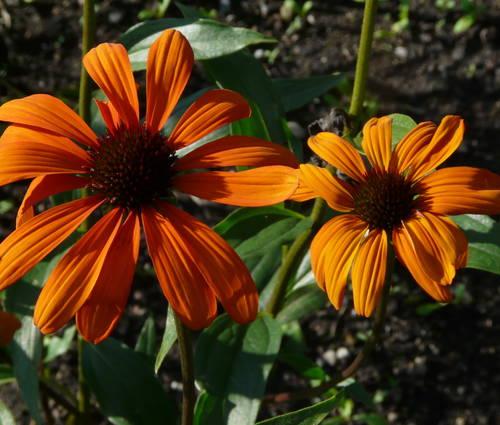 Produktbild Echinacea Hybride 'Tiki Torch' ® - Oranger Sonnenhut