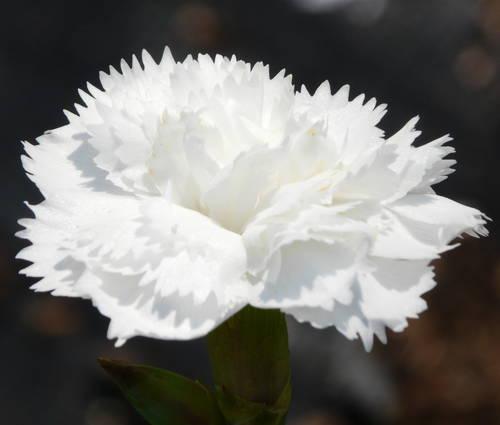 Produktbild Dianthus plumarius 'Maischnee' - Feder-Nelke
