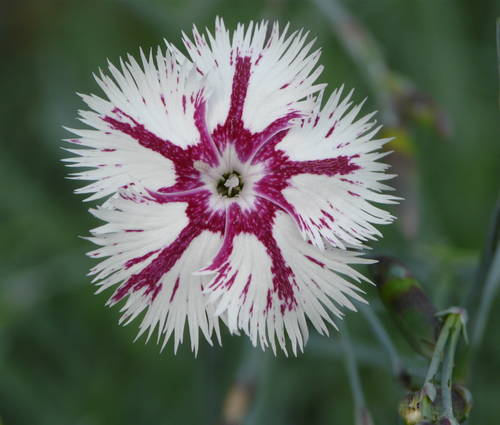 Produktbild Dianthus lumnitzeri 'Tatra Fragrance' - Feder-Nelke