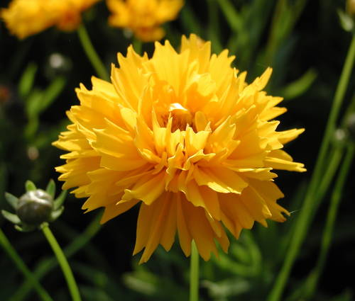 Produktbild Coreopsis grandiflora 'Early Sunrise' - Großblütiges Mädchenauge