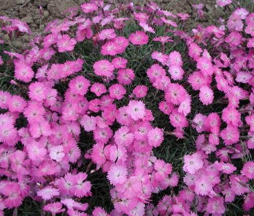 Produktbild Dianthus gratianopolitanus 'La Bourboule' - Zwerg-Pfingst-Nelke
