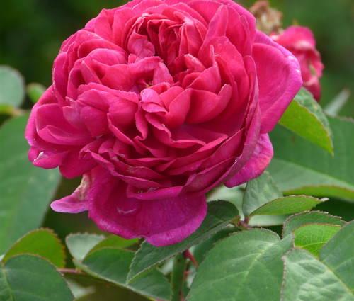 Produktbild Rosa 'Rose de Resht' - Damaszener-Rose