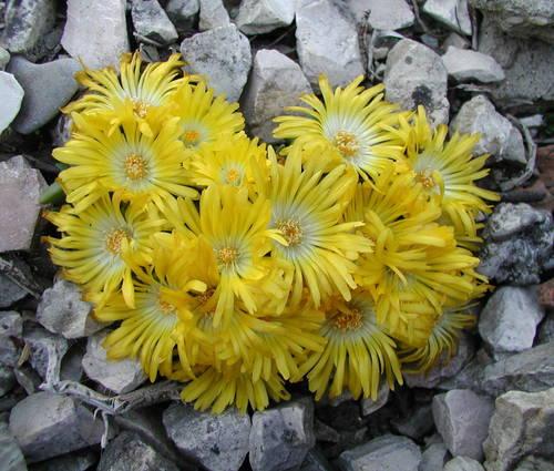 Produktbild Delosperma congestum 'Golden Nugget' - Mittagsblümchen