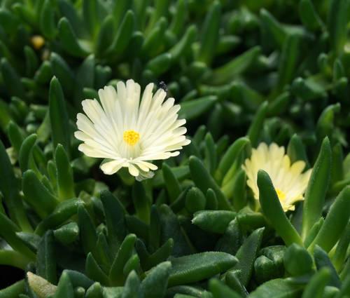 Produktbild Delosperma basuticum 'White Nugget' - Mittagsblümchen