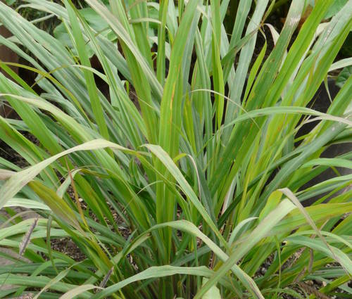 Produktbild Cymbopogon citratus - Westindisches Zitronengras