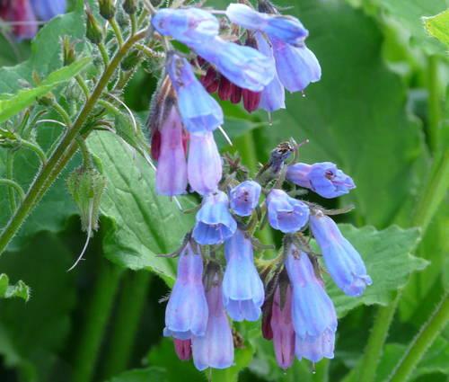 Produktbild Symphytum grandiflorum 'Blaue Glocken' - Kleiner Kaukasus-Beinwell, Wallwurz