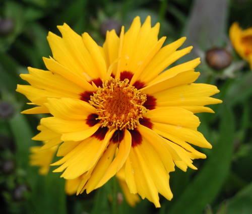 Produktbild Coreopsis lanceolata 'Rotkehlchen' - Kleines Mädchenauge