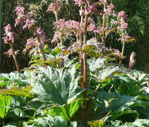 Produktbild Rheum palmatum var. tanguticum - Kron-Rhabarber, Sibirischer Zier-Rhabarber, Chinesischer Rhabarber