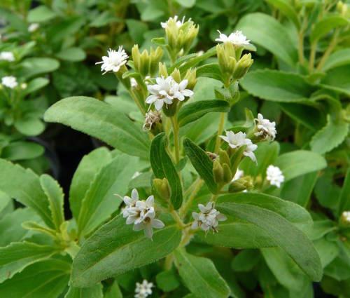 Produktbild Stevia rebaudiana - Süßkraut, Honigblatt
