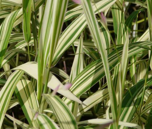 Produktbild Chasmanthium latifolium 'River Mist' ® - Weißbuntes Plattährengras