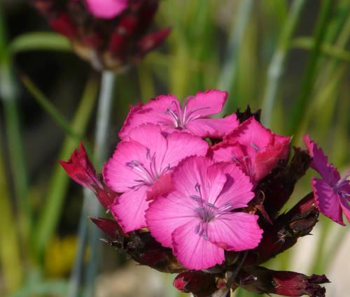 Produktbild Dianthus carthusianorum - Karthäuser-Nelke