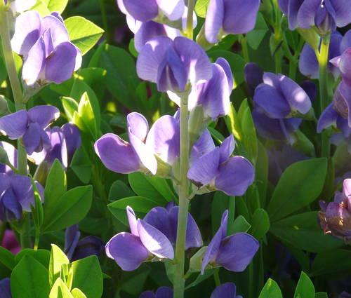 Produktbild Baptisia Hybride 'Purple Smoke' - Indigolupine, Färberhülse