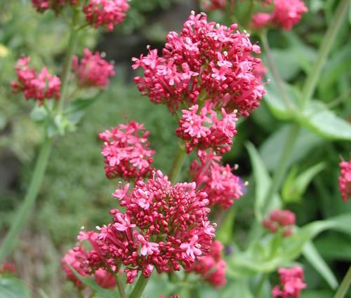 Produktbild Centranthus ruber var. coccineus - Spornblume