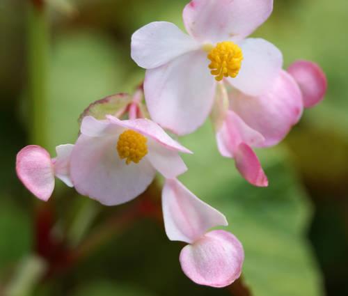 Produktbild Begonia grandis ssp. evansiana - Japan-Schiefblatt, Stauden-Begonie