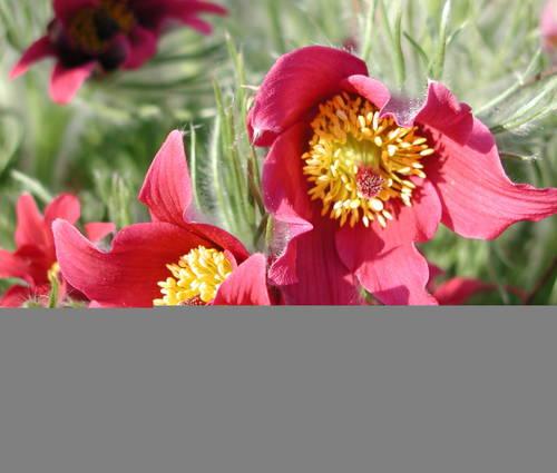 Produktbild Pulsatilla vulgaris 'Rote Glocke' - Rote Küchenschelle