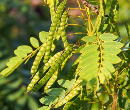 Produktbild Cassia hebecarpa - Gewürzrinde, Kassie