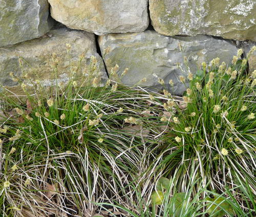Produktbild Carex umbrosa - Schatten-Segge