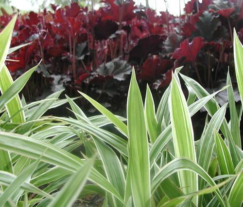 Produktbild Carex siderosticta 'Variegata' - Sommergrüne Breitblatt-Segge