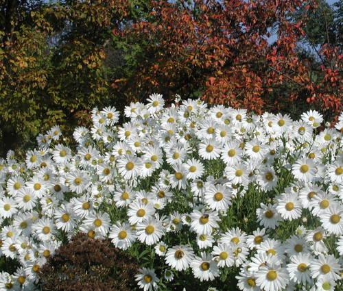 Produktbild Leucanthemella serotina 'Herbststern' - Oktober-Margerite