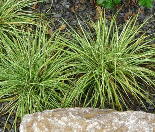 Produktbild Carex ornithopoda 'Variegata' - Weißbunte Vogelfuß-Segge