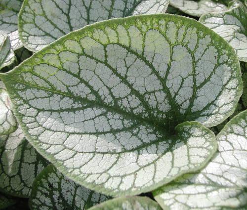 Produktbild Brunnera macrophylla 'Jack Frost' ® - Silbriges Kaukasusvergissmeinnicht