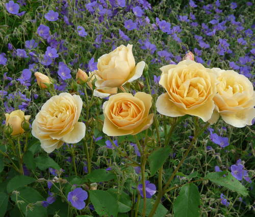Produktbild Rosen und Stauden im Bauerngarten - Rosenbegleiter 2