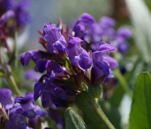 Produktbild Prunella grandiflora - Große Braunelle