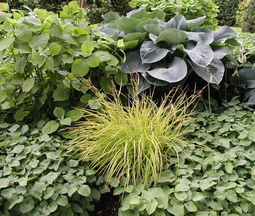 Produktbild Carex elata 'Bowles Golden' - Steife Gold-Segge