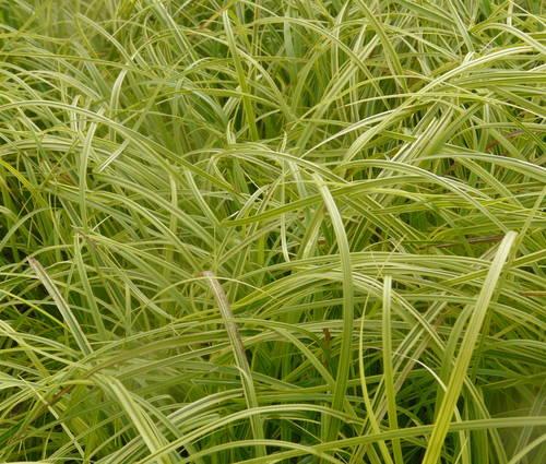 Produktbild Carex dolichostachya 'Gold Fountains' - Goldrand-Segge, Brokat-Segge