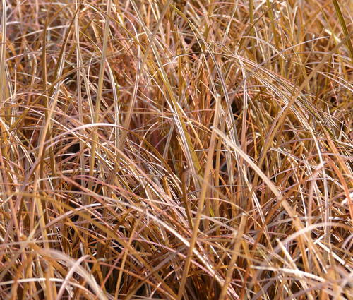 Produktbild Carex comans 'Bronze Form' - Neuseeland-, Haar-, Schopf-Segge