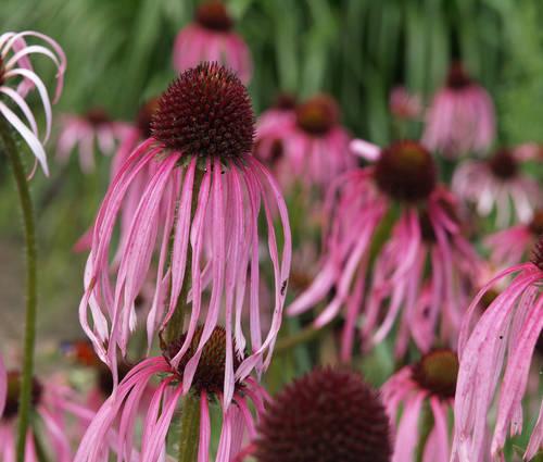 Produktbild Echinacea pallida - Sonnenhut