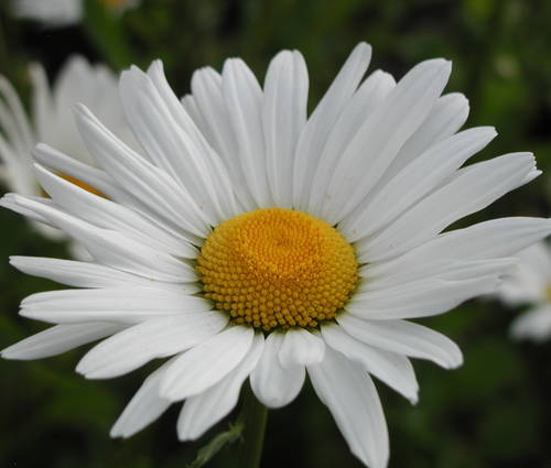Produktbild Leucanthemum vulgare 'Maikönigin' - Wiesen-Margerite