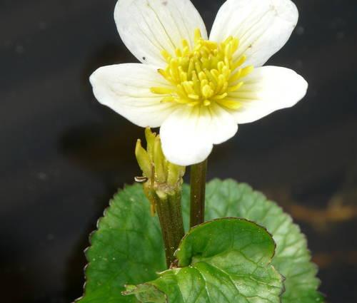 Produktbild Caltha palustris var. alba - Weiße Sumpfdotterblume