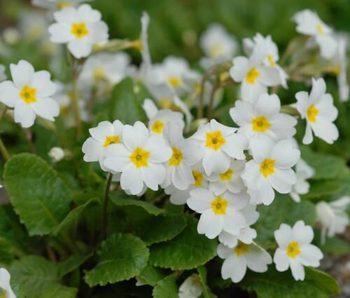 Produktbild Primula x pruhoniciana 'Schneewittchen' - Garten-Teppich-Primel