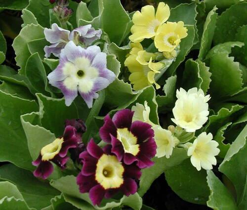Produktbild Primula x pubescens - Gartenaurikel