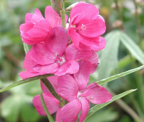 Produktbild Sidalcea oregana 'Brillant' - Rote Präriemalve